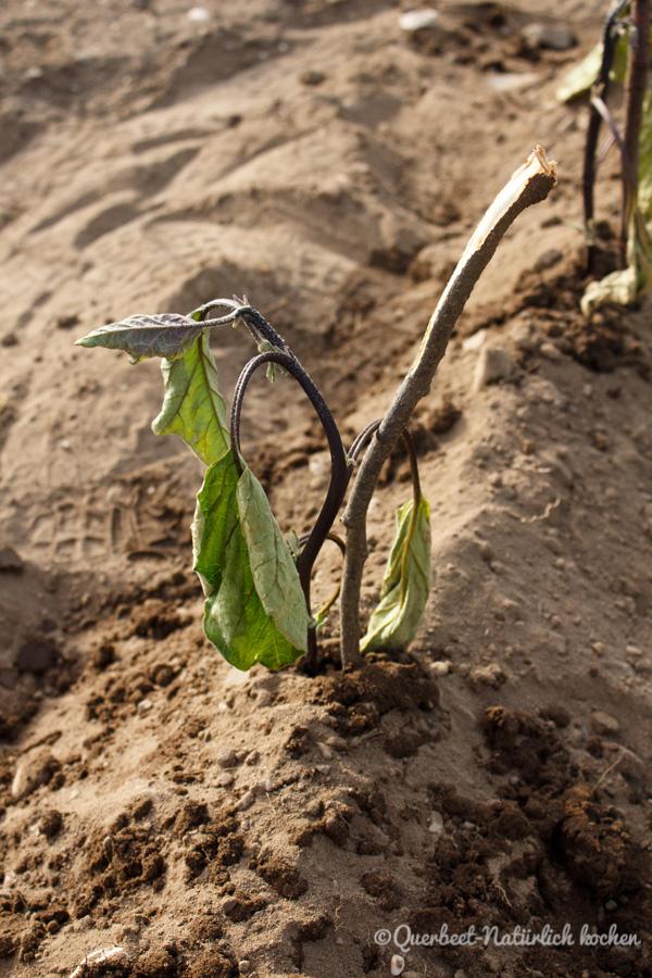 Querbeet-Natuerlichkochen.Auberginenpflanze