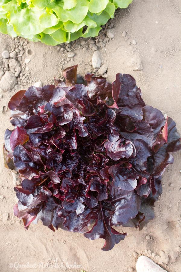 Querbeet-Natuerlichkochen.Einzelner Salatkopf