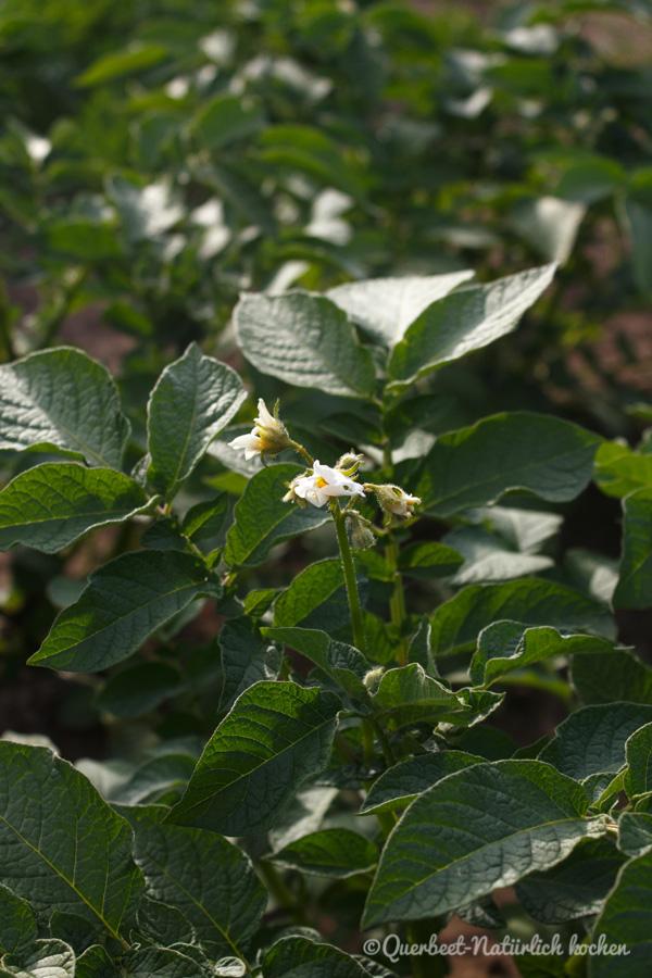 Querbeet-Natuerlichkochen.Kartoffelpflanze1