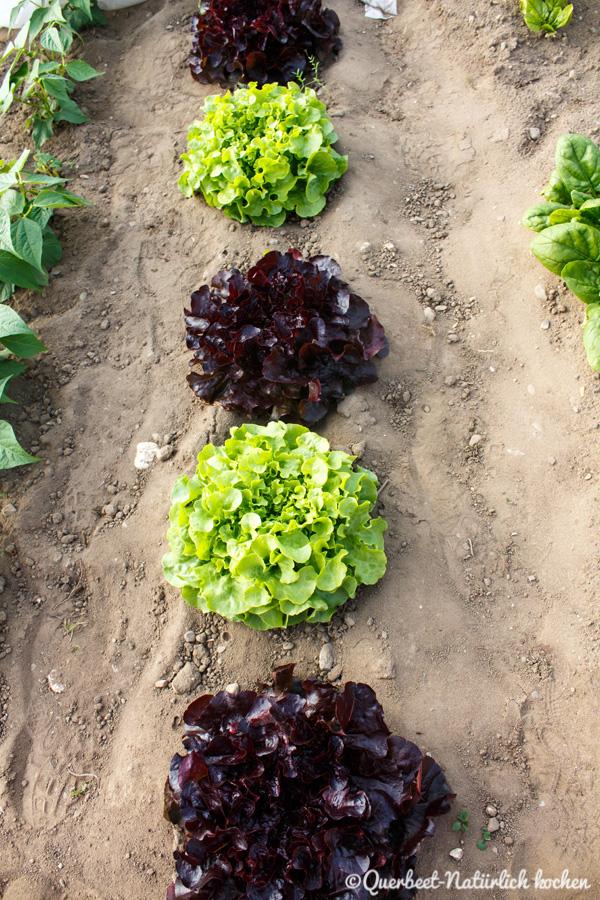 Querbeet-Natuerlichkochen.Salatköpfe