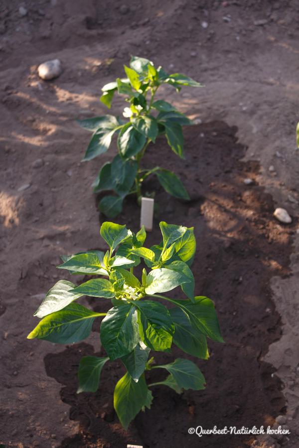 Querbeet Natürlich kochen.Gartenglück.Paprikapflanze