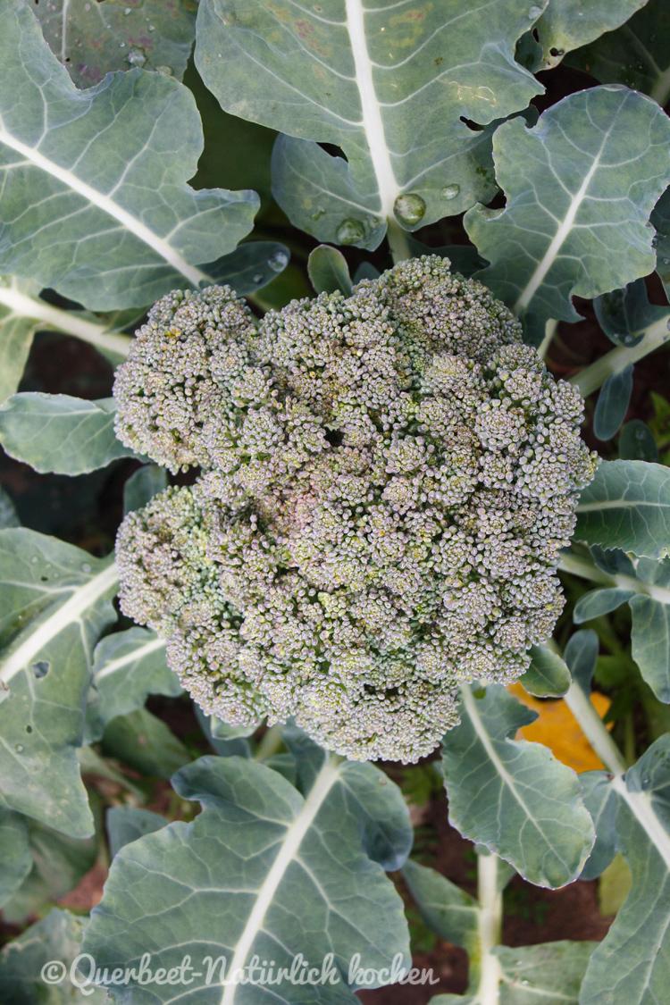 Gartenglueck2.34.Brokkoli.querbeetnatuerlichkochen