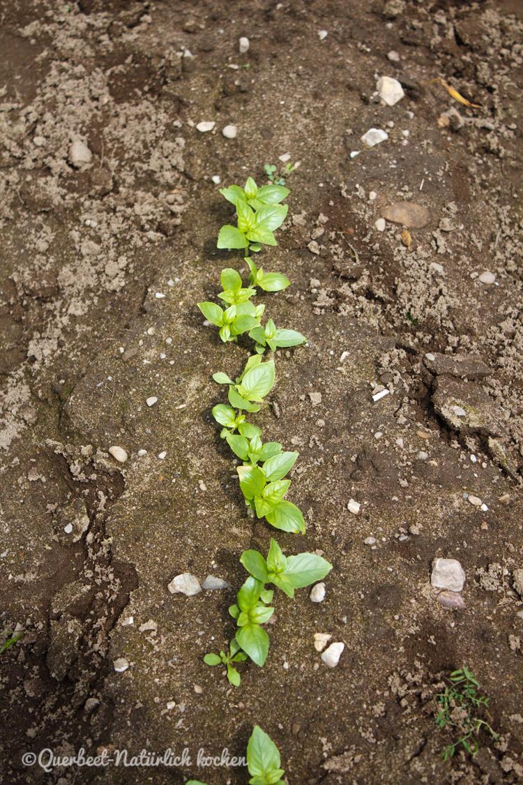 Gartenglueck2.47.Basilikum.querbeetnatuerlichkochen