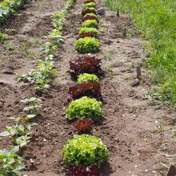 Gartenglueck2.49.Salat.querbeetnatuerlichkochen
