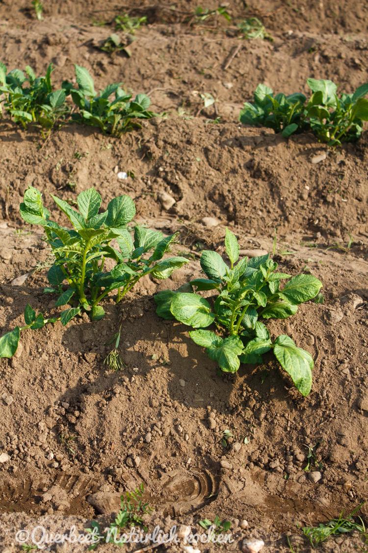 Gartenglueck2.5.Kartoffeln.querbeetnatuerlichkochen