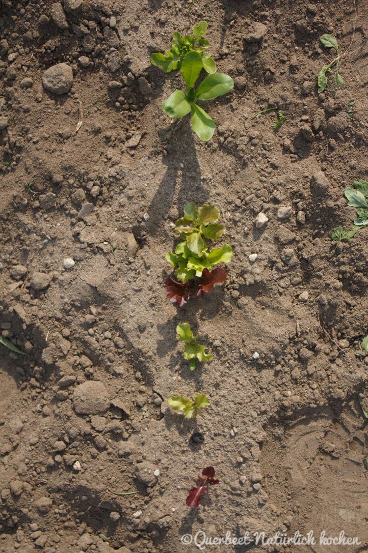 Gartenglueck2.7.Pfluecksalat.querbeetnatuerlichkochen